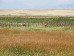 DSCN3149 (Jenny Lynne Semenza) Tags: sandhillcranes ducklings camaswildliferefuge