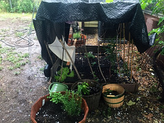 POD Day 164 6/12 Summertime Activities (TMLizzy Irwin) Tags: june2016 summerhailstorm hail hailstorm garden urbangarden backyardgarden vegetables pod vegetablegarden raisedbedgarden containergarden herbs seedlings