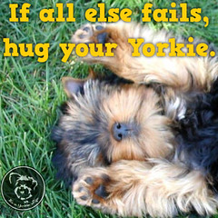 This is an excellent backup plan. (itsayorkielife) Tags: yorkiememe yorkie yorkshireterrier quote