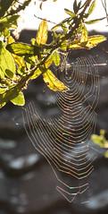 Sunlight Spectrum (amanda.parker377) Tags: spidersweb morningsunshine gardens spectrum colours rainbowcolours light