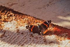 auf d. Teppich bleiben (bratispixl) Tags: germany oberbayern spot tele falter admiral teppich schrfentiefe dokumentation chiemgau naturfotografie lichtwechsel blumengarten traunreut fokussierung stadtrundweg faltermonitoring bratispixl