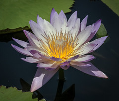 Water Lily (tresed47) Tags: 2016 201607jul 20160711longwoodflowers canon7d chestercounty content flowers folder lily longwoodgardens pennsylvania peterscamera petersphotos places takenby us waterlily