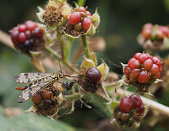 stealing lunch (Johnson Cameraface) Tags: 2016 july summer olympus omde1 em1 micro43 zd zuiko macro 50mm f2 johnsoncameraface insect scorpionfly berries
