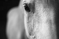 Oeil de cheval (Manu Nguyen) Tags: portrait blackandwhite bw horse eye animal cheval noiretblanc farm oeil domestic canon5d ferme equine familier 5018 questre bte quid