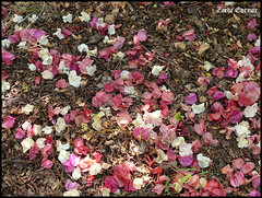 Fallen Summer Leaves (Zachi Evenor) Tags: summer nature leaves garden botanical spring    zachievenorisrael netiv halamedheh