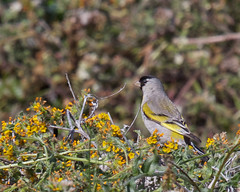 Lawrence's Goldfinch (Tom Clifton) Tags: goldfinch birding pointlobos lawrencesgoldfinch granitepoint