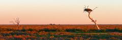 Abandoned Nest (missnoma) Tags: sunset sunlight birds nest eagle horizon derelict oiseau avian wedgetailedeagle abandonednest cobbhighway hayplains fallenintodisrepair tooclosetotheroad