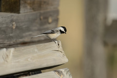 Chickadee-40941.jpg (Mully410 * Images) Tags: bird bench birding chickadee birdwatching blackcappedchickadee birder songbird tcaap ahats tcaapwva
