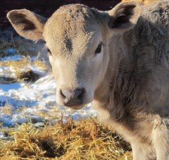 I'm looking at you kid! (danijaw) Tags: baby animal cattle farm newborn calf vache boeuf nouveaun veau