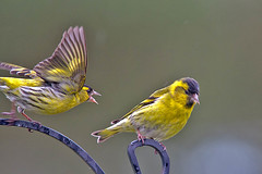 I'm being attacked! (John's Wildworld) Tags: birds finches siskins