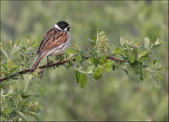 Reed bunting (Paul Green Photography) Tags: nature wildlife reedbunting nbw paulgreenbirdphotography wwwpaulgreenorg