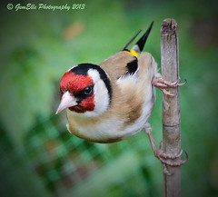 Pole Dancing (GemElle Photography) Tags: red bird cane gold nikon goldfinch finch gemelle sigma50500 d600 gemelle1
