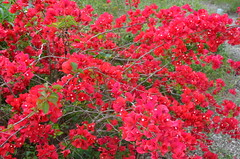 Red Bougainvillea (The Brit_2) Tags: gardens botanical texas tx south christi corpus