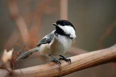 Black-capped chickadee (Wow thats a nice pic) Tags: winter black tree bird ma sitting flight chickadee westport capped blackcappedchickadee 02790