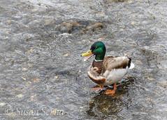 Says You (SusanRSerna) Tags: bird nature water alaska duck spring nikon wildlife stock telephoto anchorage mallard waterfowl d7000