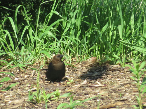 Brown-Headed Cowbird - Missouri by SpeedyJR
