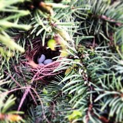 Eggs (shadowcat294) Tags: blue nature birds pine focus natural nest evergreen pines sp sparrow eggs nests