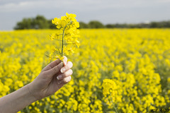 Burntwood, Staffordshire - Countryside (MDB Images) Tags: uk plants landscape model holding side country fingers nails oil fields crops staffordshire rapeseed burntwood landscapre mdbimages