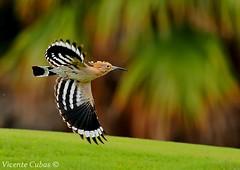 ABUBILLA (Upupa epops) (Vicente Cubas) Tags: thewonderfulworldofbirds freedomtosoarlevel1birdsonly freedomtosoarlevel3birdsonly freedomtosoarlevel2birdsonly