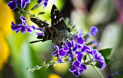 Long-tailed Skipper Butterfly on Saphire Showers (Lallee) Tags: blue flower macro nature canon butterfly garden insect purple florida teal skipper longtailed