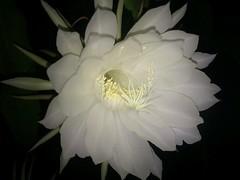flower Bramhakamal (Indian name)