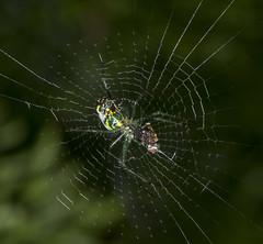 Spider eating series 26 (Richard Ricciardi) Tags: spider eating web spinne araa  araigne ragno timeseries     gagamba    nhn  spidertimeseries