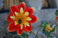 Dahlia attracting a bee (Wider World) Tags: dahlia red mountains flower yellow mediterranean village bee greece peloponnese taygetos ελλάδα vorio gaitses