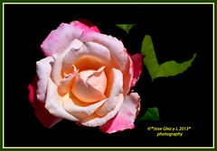 Pink rose (Pepe (ADM)) Tags: pink flores flower nature rose flor fiori pinkrose fleure