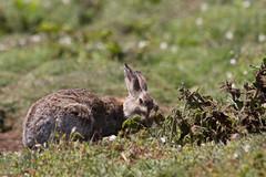 Rabbit on Skomer Island (MNFischer) Tags: uk wales island puffin pembrokeshire skomer papageientaucher urlaub2013