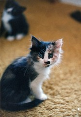 Kitten Moustache 1984-5 (wbaiv) Tags: baby cute animal cat kitten fuzzy kittens nopeople calico 1980s