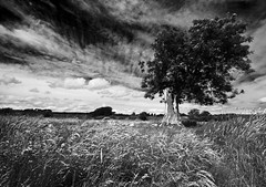 summer meadow (Ray Byrne) Tags: blackandwhite bw tree field grass meadow monotone northumberland raybyrne byrneoutcouk webnorthcouk