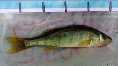 WP_20130728_008 (Cases4Cases) Tags: washington lakewashington perch mercerisland lakefishing catchandrelease catchrelease