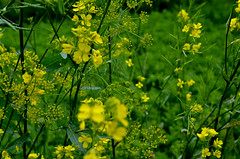 sarson (m3dha) Tags: flowers india green nature yellow mustard brassica sarson