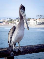 Local Celebrity (maida0922) Tags: ocean california wood sea bird pier dof pacific bokeh wildlife pelican oceanside brownpelican oceansidepier pelecanusoccidentalis em5 mzuiko45mmf18 gettyimagesjapan13q2