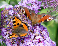 Plenty for everyone (Ian-S) Tags: summer butterfly colorful colours peacock colourful smalltortoishell