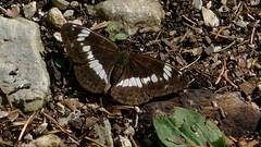 Kleiner Eisvogel (Aah-Yeah) Tags: white butterfly bayern camilla admiral kleiner schmetterling fritillary achental limenitis chiemgau eisvogel tagfalter marquartstein