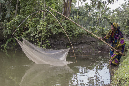 Harvesting small fish in Rangpur, Bangladesh. Photo by Holly Holmes, 2013.