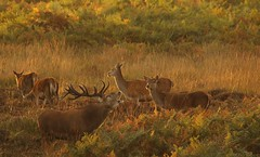 Bellowing Out The Last Of September (Derbyshire Harrier) Tags: autumn sunset stag dusk derbyshire peakdistrict bracken nationaltrust roar reddeer rut bellow rspb hinds 2013 peakpark wildreddeer easternmoors