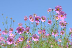 pink cosmos (snowshoe hare*(back and slowly catching up)) Tags: pink flowers botanicalgarden cosmos  dsc2113