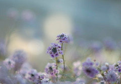 Alyssum on a frosty morning (Franci Van der vyver (Carmen Tulum)) Tags: autumn flower fall frost purple bokeh meadow alyssum babyblue