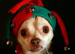 Bah Humbug! ~ Explore (Cindy's Here) Tags: christmas chihuahua macro canon explore 48 jynx tistheseason bahhumbug ansh tmsh scavenger14 52in2013 1213sh13