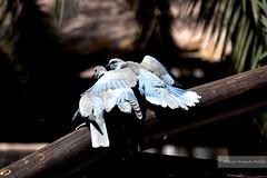 #107. Kiss (Melanie Delgado Phillips) Tags: naturaleza love nature birds photography nikon kiss amor pjaros challenge doves turtledoves trtolas d3100 113picturesin2013