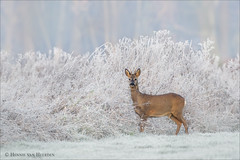 Frozen world (hvhe1) Tags: winter white mist home nature animal fog mammal frozen bravo frost wildlife thenetherlands deer buck roe voerakker reebok ree capreoluscapreolus rijp tonden specanimal hvhe1 hennievanheerden specanimalphotooftheday