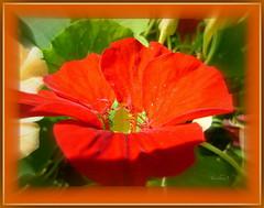 Scarlet. (tarelkaz1) Tags: flowers red summer macro garden flora memories topshots flickraward flowersarebeautiful excellentsflowers natureselegantshots naturethroughthelens sonydscs730 theoriginalgoldseal mygearandme ipiccy