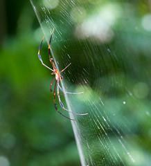 Orb Spider (Escapee2009) Tags: spider darwin botanicalgardens goldenorbspider