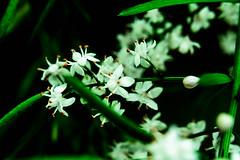 Close up Flower (irfaanhussein) Tags: flowers flower macro closeup beautifulflowers niceflower