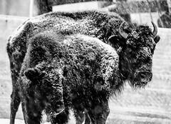 Bolduc Bison (chertok88) Tags: buffalo newengland newhampshire nh bison gilford tatonka granitestate townofgilford bolducfarm
