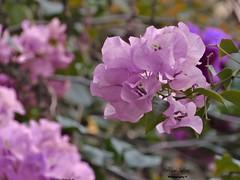 Pink (AlanDContreras) Tags: flowers flower love nature smiling garden surprise