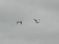 White pelicans, out of phase... IMG_0069 (wbaiv) Tags: pontoon boat elkhorn slough tour monterey bay moss landing wetland inland harbor sea otter otters lion seal brown white pelican nature preserve area gull cormorant fishing pleasure dock piling gray sky wildlife california birds bird flier flying feathers biped wings safari tours httpwwwelkhornsloughcom avian animal wild shore coast nopeople together morethanone floating flapping gliding airborne