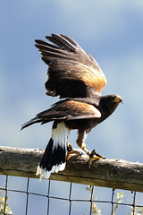 CFR7698 Bird of prey (Carlos F1) Tags: barcelona bird animal spain nikon eagle au ave pajaro raptors birdsofprey falconry pjaro rapaz d300 guila ocell cetrera fauconnerie santfeliudecodines liga rapinyaire halconera